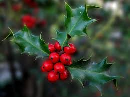 holly is poisonous for dogs